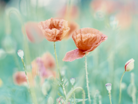Ardennes Forest「Belgium, Ardennes, corn poppies on meadow」:スマホ壁紙(3)