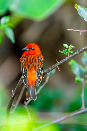 Mauritius「Mauritius, red fody, Foudia madagascariensis, perching on twig」:スマホ壁紙(18)