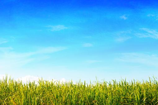 Sugar Cane「Green Field & Blue Sky」:スマホ壁紙(0)