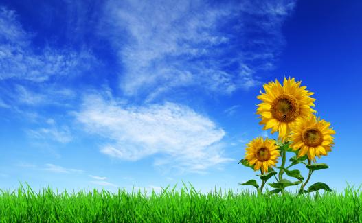 ひまわり「グリーンフィールド、草、sunflowers 、ブルースカイ(XXXL サイズ)」:スマホ壁紙(15)