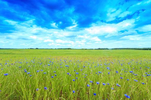 Rolling Landscape「Green field with cornflowers」:スマホ壁紙(18)