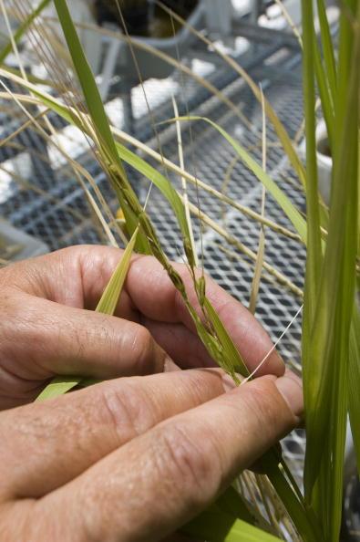 Greenhouse「Scientests Complete Rice Genome Map」:写真・画像(7)[壁紙.com]