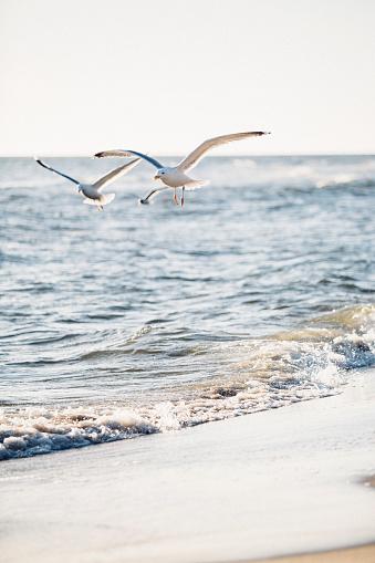 Seagull「Germany, Baltic Sea, seagulls in the hunt」:スマホ壁紙(2)