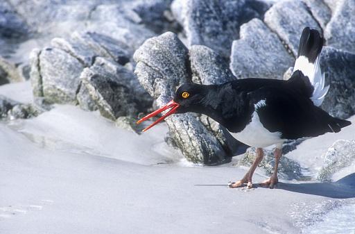 Falkland Islands「Megellanic Oystercatcher, Wading Bird, Falkland Islands」:スマホ壁紙(8)