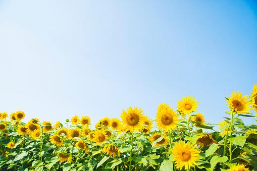 ひまわり「A blue sky and a sunflower」:スマホ壁紙(5)