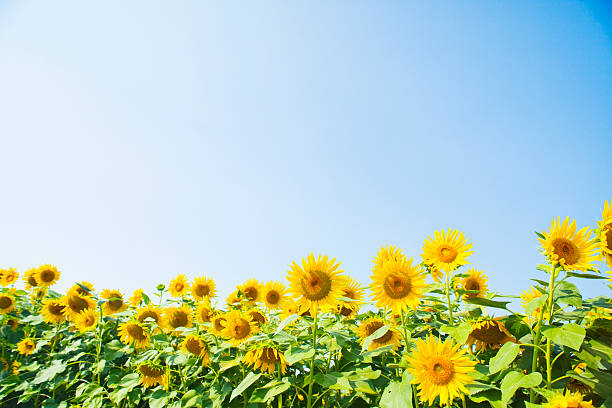 A blue sky and a sunflower:スマホ壁紙(壁紙.com)