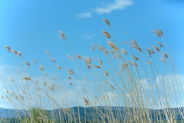 Blue sky and Japanese pampas grass blowing in the wind. Iiyama, Nagano Prefecture, Japan:スマホ壁紙(壁紙.com)