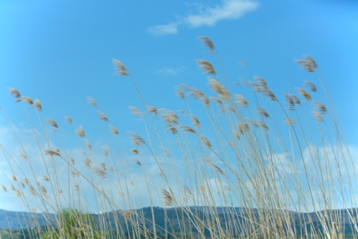 Japanese pampas grass「Blue sky and Japanese pampas grass blowing in the wind. Iiyama, Nagano Prefecture, Japan」:スマホ壁紙(6)