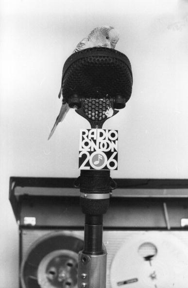 動物「Broadcasting Budgie」:写真・画像(3)[壁紙.com]