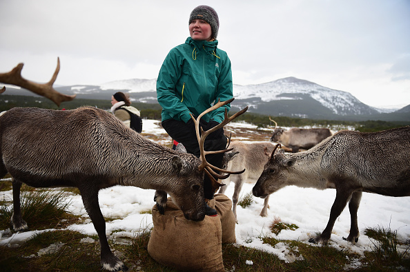 Reindeer「Britain's Only Reindeer Herd Prepare For Christmas In The Cairngorms National Park」:写真・画像(7)[壁紙.com]