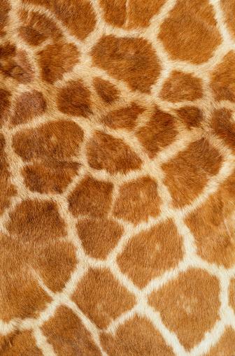 Giraffe「Giraffe Fur」:スマホ壁紙(10)