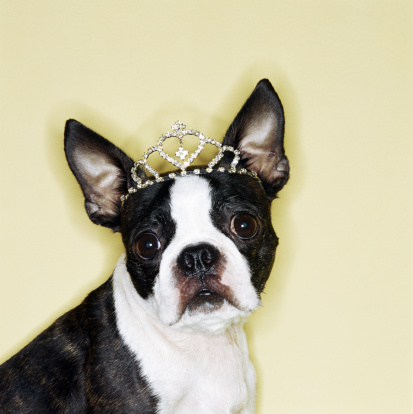 Girly「Dog wearing tiara」:スマホ壁紙(4)