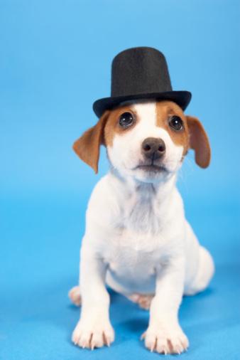 シルクハット「Dog wearing top hat」:スマホ壁紙(18)