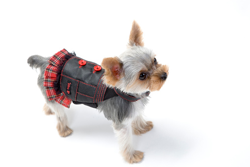 Tartan check「Dog wearing clothes」:スマホ壁紙(13)