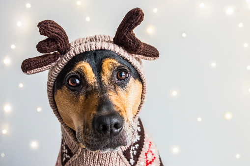 Sweater「A dog wearing a reindeer sweater and hoodie with antlers for a Christmas portrait」:スマホ壁紙(4)