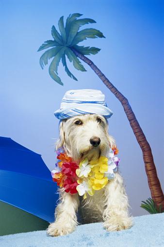 Schnauzer「Dog wearing hat and lei, next to umbrella」:スマホ壁紙(19)