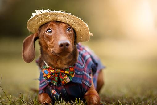 お祭り「6 月のパーティー são joão 服を着て犬」:スマホ壁紙(19)