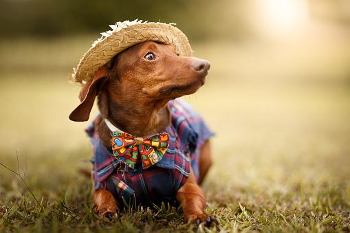 お祭り「6 月のパーティー são joão 服を着て犬」:スマホ壁紙(14)