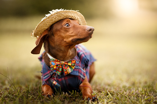 June「Dog wearing june's party são joão clothes」:スマホ壁紙(14)