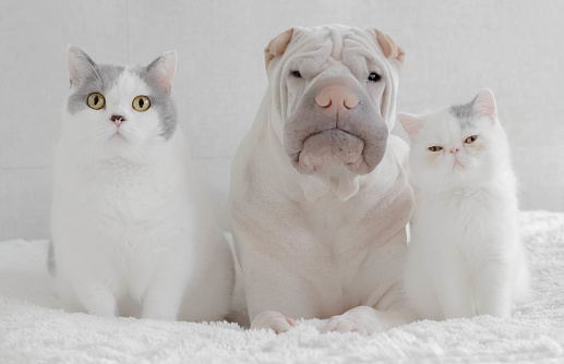 Kitten「shar-pei dog sitting with a British shorthair cat and an exotic shorthair kitten」:スマホ壁紙(16)