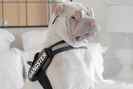 おしゃれ「shar-pei dog with a gangster belt and sunglasses」:スマホ壁紙(0)
