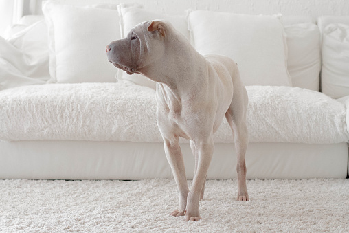犬「Shar-pei dog standing beside white sofa」:スマホ壁紙(15)