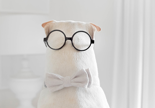 Bow Tie「shar-pei dog wearing a bow tie and spectacles on the back of his head」:スマホ壁紙(10)