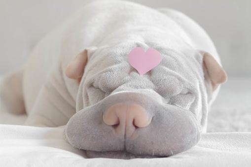 恋愛「shar-pei dog with a love heart on its head」:スマホ壁紙(6)
