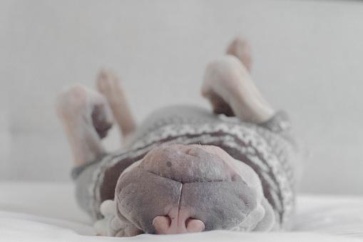 Upside Down「Sharpei dog in a jumper sleeping on it's back」:スマホ壁紙(13)