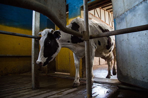 Waiting「In Rural China, Small Dairy Farms Are Dying Out As Milk Market Changes」:写真・画像(14)[壁紙.com]