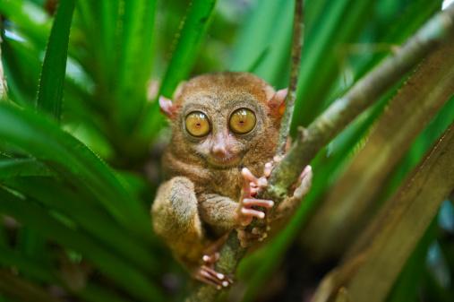 Endangered Species「Primate Tarsier at Tarsier visitor center.」:スマホ壁紙(7)