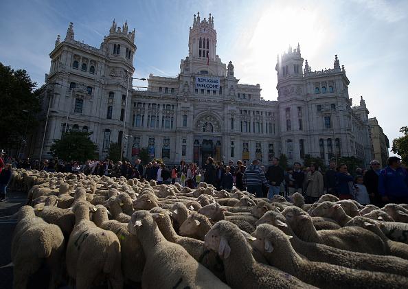 Madrid「Sheep Invade Madrid During Celebration Of Seasonal Livestock Migration」:写真・画像(13)[壁紙.com]