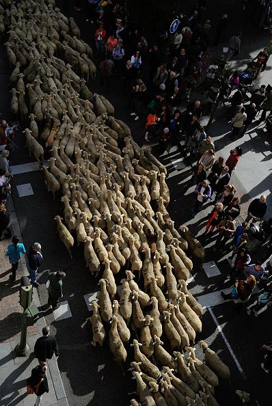 Footpath「Sheep Invade Madrid During Celebration Of Seasonal Livestock Migration」:写真・画像(10)[壁紙.com]