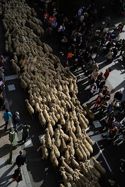 Sheep Invade Madrid During Celebration Of Seasonal Livestock Migration:ニュース(壁紙.com)