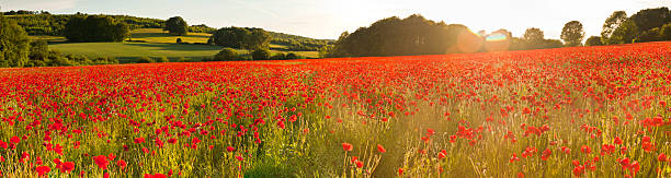 Vibrant red poppy fields warm sunlight flaring summer countryside panorama:スマホ壁紙(壁紙.com)