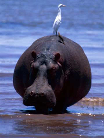 カバ「Photo, A bird riding on the back of a hippopotamus」:スマホ壁紙(0)