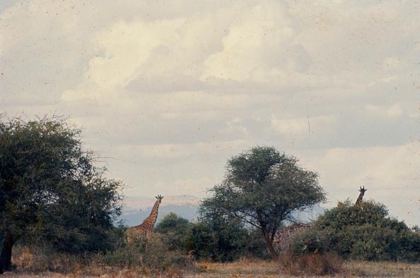 野生動物「Giraffe In Tanzania」:写真・画像(12)[壁紙.com]