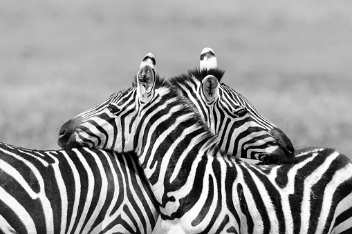 Affectionate「Two Zebras embracing in Africa」:スマホ壁紙(1)