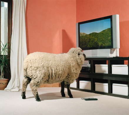 Watching TV「Sheep facing television screen, indoors」:スマホ壁紙(12)