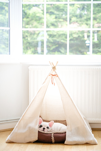 Pets「8 weeks old Pied French Bulldog puppy resting inside Teepee tent」:スマホ壁紙(13)