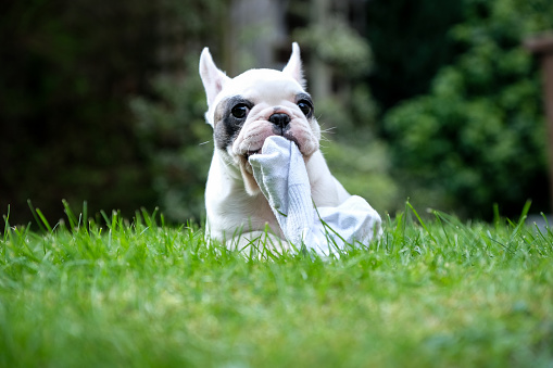 Mischief「8 weeks old Pied French Bulldog puppy chewing on sock in the graden」:スマホ壁紙(3)
