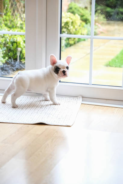8 weeks old Pied French Bulldog Puppy waiting at the door to go outside:スマホ壁紙(壁紙.com)