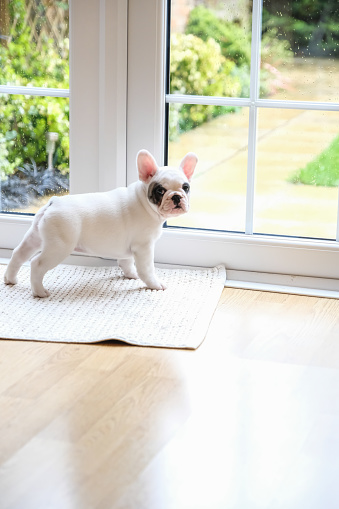 Pets「8 weeks old Pied French Bulldog Puppy waiting at the door to go outside」:スマホ壁紙(12)