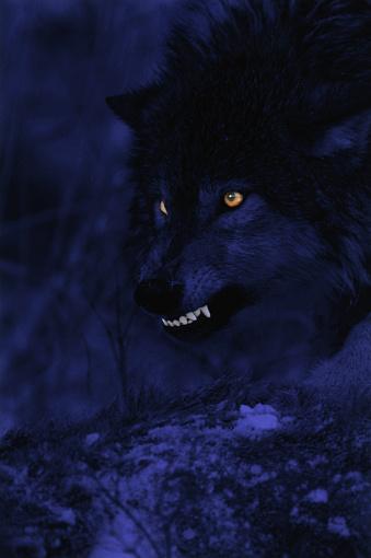 Wilderness Area「Wolf Snarling at Night」:スマホ壁紙(17)