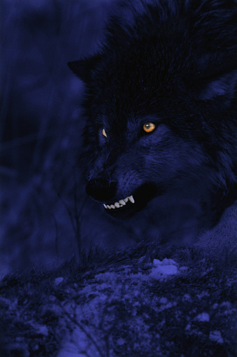 Animals Hunting「Wolf Snarling at Night」:スマホ壁紙(16)