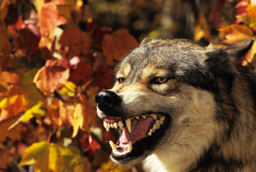 Furious「Wolf (Canis lupus) snarling, headshot, with Autumn color, Canada」:スマホ壁紙(17)