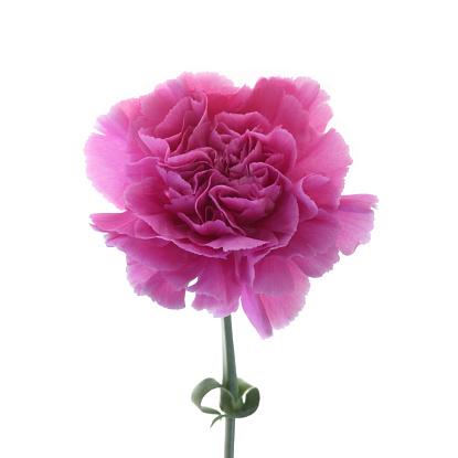 カーネーション「Pretty pink carnation on white background.」:スマホ壁紙(8)