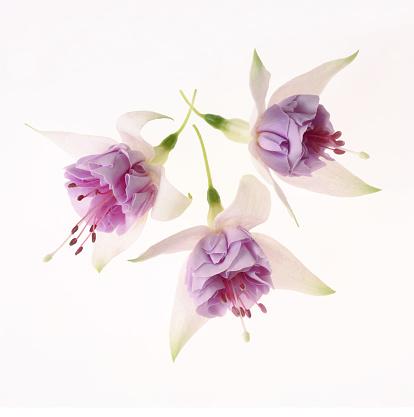 Stamen「Pretty pink and white fuchsia flowers on white square.」:スマホ壁紙(13)
