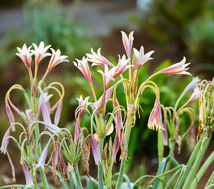 Drooping「Pretty pink flowers growing in garden」:スマホ壁紙(19)