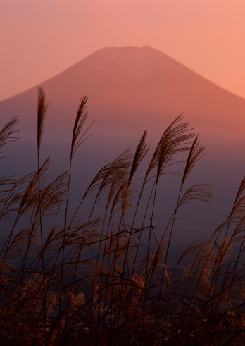 Japanese pampas grass「Mt. Fuji」:スマホ壁紙(18)